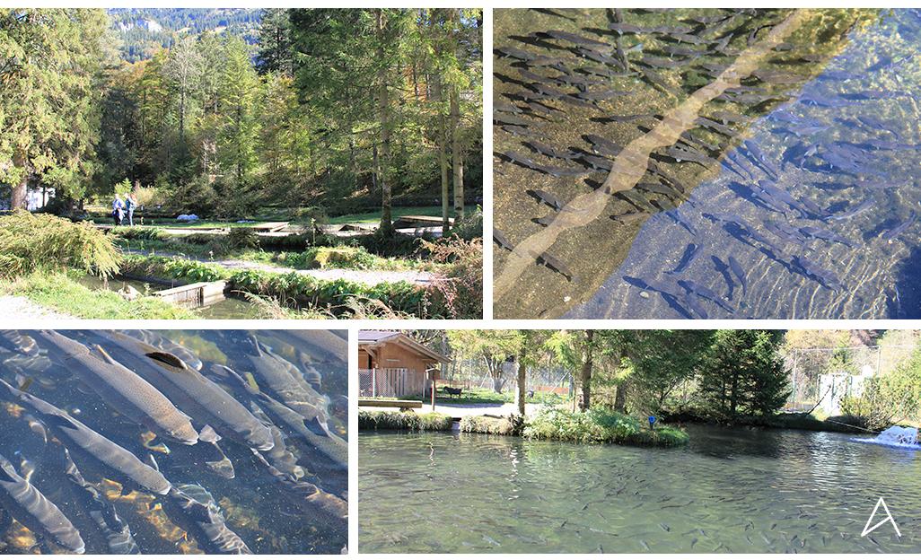Blausee_pisciculture